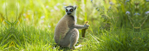 Say hello to Madagascar's Lemurs